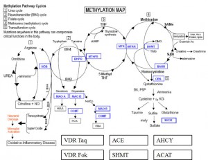 Diagram of Methyl Cycle NutriGenomics James C. Roberts, MD James C. Roberts, MD Methyl Cycle NutriGenomics1